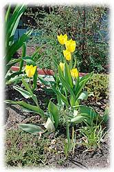 Hart House early season tulips