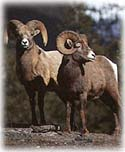 Jasper Adventure Centre, bighorn sheep.